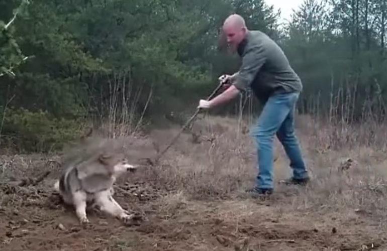 Lobo atrapado